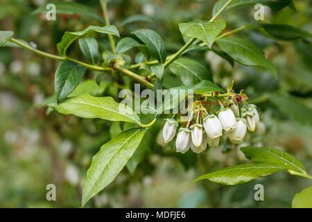 Vaccinium corymbosum. Blueberry Blumen im Frühling. Selektive ...