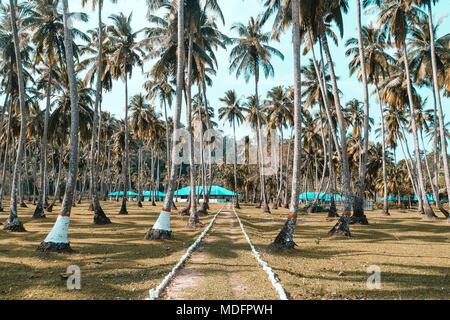 Ein Weg unter den hohen Kokospalmen auf der exotischen tropischen Insel lang. Andaman und Nicobar Inseln. Indien. Palm Grove am Ufer des Atlantiks Oce - Stockfoto
