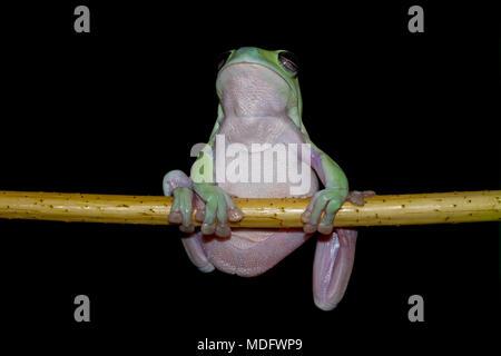 Pummelig Frosch auf einem Zweig - Stockfoto