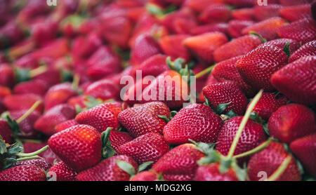 Rote Erdbeere Obst. Frisch geerntete Erdbeeren - Hintergrund aus frisch geernteten Erdbeeren - Stockfoto