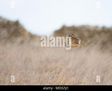 Seitenansicht der wilden kurzlebigen Eule in Großbritannien (Asio flammeus), isoliert im Mittelflug, fliegend niedrig, Jagd auf Felder auf freiem Land, Großbritannien. Britische Tierwelt. - Stockfoto