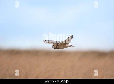 Single, wild nach sumpfohreule (Asio Flammeus) im Flug, mitten in der Luft gleiten mühelos ausgestreckten Flügeln, Jagd über die offene Landschaft. - Stockfoto