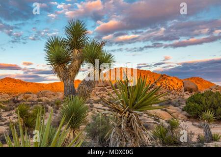 Sonnenuntergang auf Felsformation mit Joshua Tree (Yucca Buergeri) im Vordergrund, Joshua Tree National Park - Stockfoto