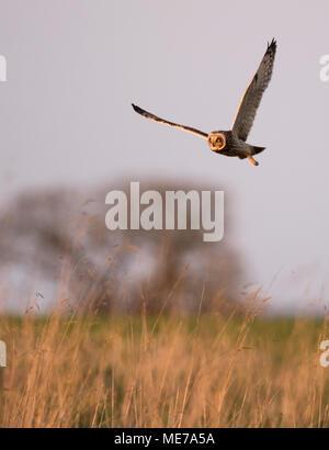 Eine wilde Short Eared Owl (Asio Flammeus) jagen über rauhe Wiesen, Gloucestershire - Stockfoto