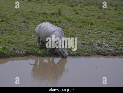 One-Horned Rhino Trinkwasser - im Kaziranga National Park - Stockfoto