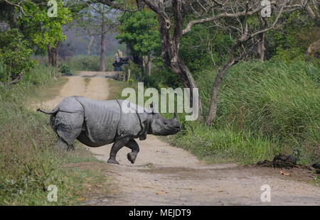One-Horned Rhino - Kaziranga National Park - Stockfoto