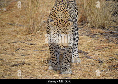 Leopard in Namibia - Stockfoto