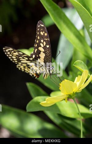 Schwalbenschwanz Schmetterling auch als Kalk Schwalbenschwanz, Papilio demoleus Chequered Swallowtail und hier gesehen mit extrudieren Rüssel Fütterung auf Cosmos bekannt - Stockfoto