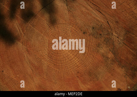 Holz Textur, Holzmaserung, Baumringe, Scotts Kiefer von Malcolm Buckland, Design 11 - Stockfoto