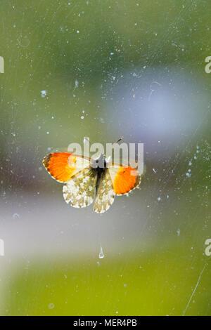 Ein männlicher orange tip Schmetterling (Anthocharis cardamines) sitzt auf einem alten Glasfenster. - Stockfoto