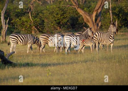 Burchell's, Gemeinsame oder Ebenen Zebra (Equus quagga Burchellii). Eine Gruppe innerhalb einer größeren Herde. Hengst, männlich, extremen Rechten, mit dem Kopf nach oben, zum Schutz sechs Mar - Stockfoto