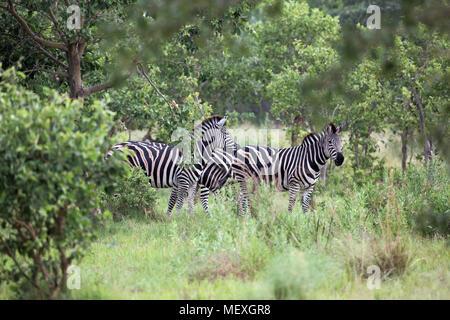 Burchell's, Gemeinsame oder Ebenen Zebra (Equus quagga Burchellii). Drei weidende Tiere nebeneinander, in dicken Baum. Okavango Delta. Botswa - Stockfoto