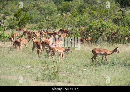 Herde von impala Fütterung im Krüger Park - Stockfoto