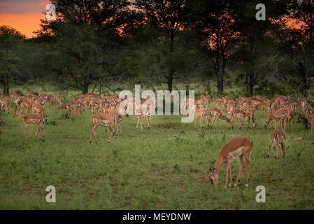 Eine Herde von impala Weiden bei Sonnenuntergang im Krüger National Park - Stockfoto