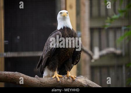 Atlanta, Hauptstadt des US-Bundesstaates Georgia, Atlanta Zoo Tierpark Eagle - Stockfoto