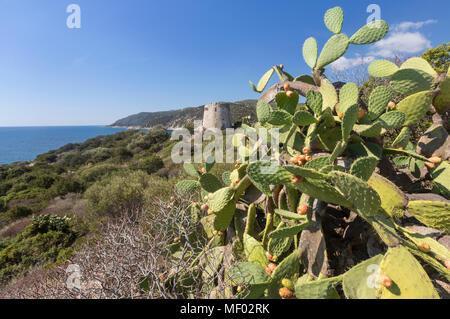 Kaktusfeigen des Landesinneren umrahmen den Turm mit Blick auf das türkisfarbene Meer Cala Pira Castiadas Cagliari Sardinien Italien Europa - Stockfoto