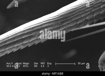 Anatomische Morphologie in der exoskeletal adnexale Widerhaken eines nicht identifizierten Roach, in der 451 x vergrößert dargestellt Rasterelektronenmikroskopische (SEM) Bild, 2005. Mit freundlicher Seuchenkontrollzentren (CDC)/Janice Haney Carr, Connie Blumen. () - Stockfoto