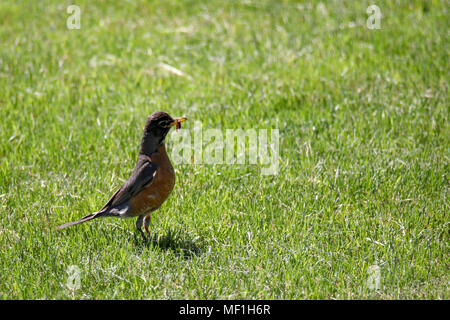 Robin mit Wurm im Schnabel - Stockfoto