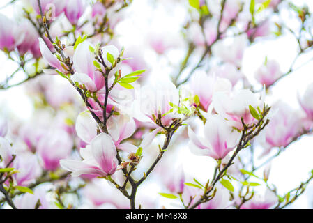Eine schöne blühende weiße Magnolie Baum umgeben von einem Teppich ...