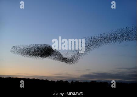 Starling, Sturnus vulgaris, murmuration bei RSPB Minsmere, mit ca. 40000 Vögel verrenkten in ungewöhnlichen Formen, Suffolk, Februar - Stockfoto