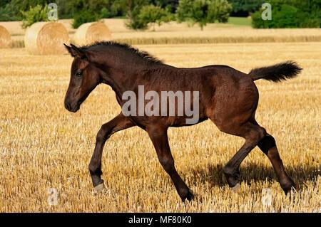 Eine nette weibliche Fohlen, Deutschen schwere Warmblut Pferd barock Typ, im Trab in einen Drei-tage-Feld mit Strohballen geht, Deutschland - Stockfoto