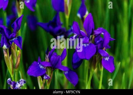 Patch von Blue Iris am frühen Morgen wind - Stockfoto