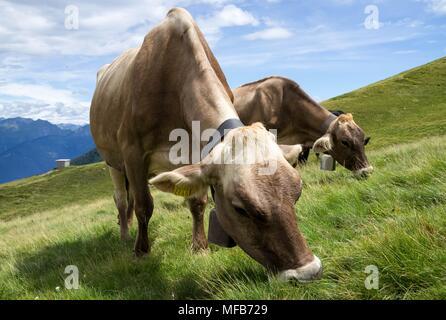 Zwei Kühe grasen auf einer grünen Wiese - Stockfoto