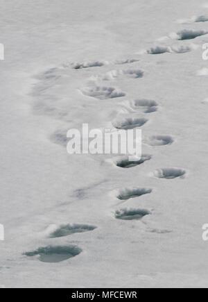 Polar bear Tracks auf Eisscholle; Spitzbergen - Stockfoto