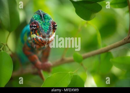 Panther chameleon mit hellen Farben/Ambilobe/Madagascar Wildlife / Furcifer pardalis/chameleon auf Zweig - Stockfoto