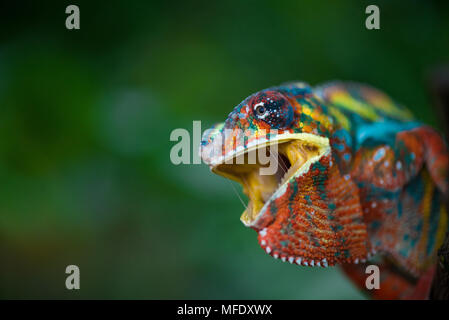 Panther chameleon mit hellen Farben/chameleon mit offenen Berg/wütend Chameleon/ Zischen / Furcifer pardalis Ambilobe/ - Stockfoto