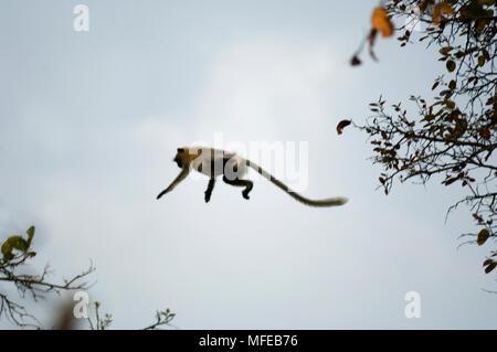 Grau oder HANUMAN LANGUR Semnopithecus entellus hüpft durch Vordach Kanha Nationalpark, Indien - Stockfoto