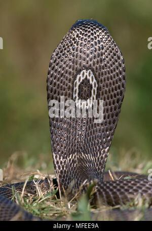 MONOCLED oder SPECTACLED COBRA Naja naja kaouthia Rückansicht der Haube mit monokel Kennzeichnung. - Stockfoto