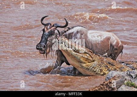Nilkrokodil (Crocodylus niloticus) Fang Streifengnu (connochaetes Taurinus). In der frühen Phase der Migration wie Gnus überqueren Sie die Ma - Stockfoto