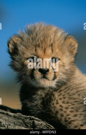 Gepard Acinonyx jubatus sechs Wochen alten - Stockfoto