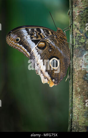 Eine riesige Eule Schmetterling Caligo memnon im Nationalpark Tortuguero Costa Rica. - Stockfoto