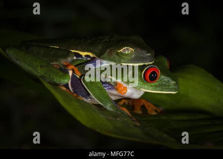 Red-eyed Tree frogs, Agalychnis callidryas, in amplexus in Tortuguero National Park, Costa Rica - Stockfoto