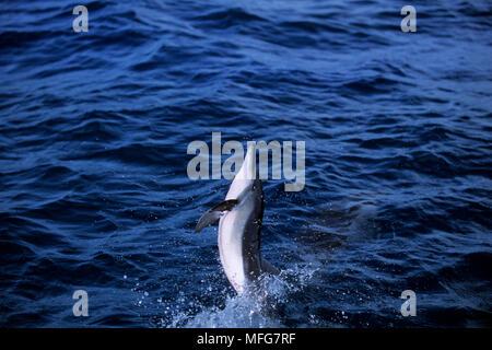 Spinner dolphin, Stenella longirostris, Dolphin Bay, Baia dos Golfinhos, Fernando de Noronha National Marine Sanctuary, Pernambuco, Brasilien, Süden Atla - Stockfoto