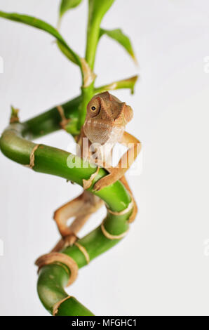 Studio schießen, Chameleon Bambus klettern - Stockfoto