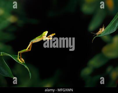RED-eyed TREE FROG (Agalychnis callidryas) sprang im Cricket, beheimatet in Mittelamerika. - Stockfoto