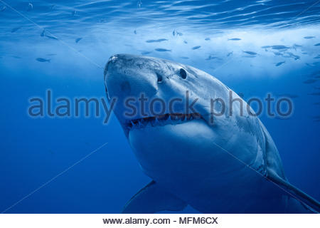 Grosser Weisser Hai (Carcharodon carcharias), Guadelupe, Mexiko | Great White Shark (Carcharodon carcharias), Guadelupe, Mexiko - Stockfoto
