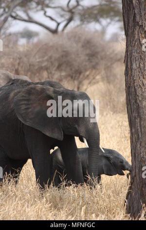 Mutter und Baby Elefant zu Fuß durch einen Baum, durch langes Gras - Stockfoto
