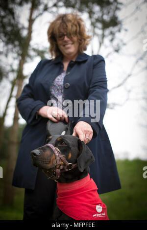 Roxy der Dobermann mit ihrem Besitzer Louise Barton bei einer Blutspende Sitzung für Hunde in einer Tierklinik in Hatherton, Staffordshire statt. - Stockfoto