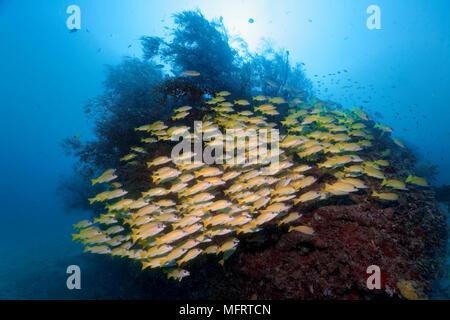 Fische Schwarm Bluestripe Schnapper (Lutjanus kasmira) vor der Korallenblock mit Buschigen Schwarzen Korallen (Antipathes dichotoma)