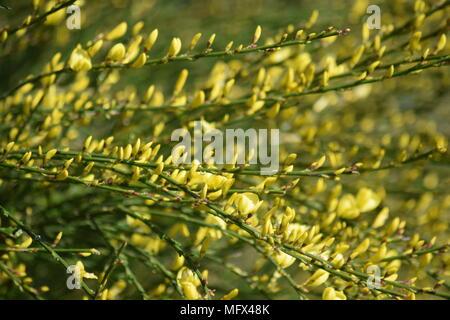 Frühjahr blühenden Garten Strauch: Die gelbe Blume der Besen IM APRIL. WEST SUSSEX. 2018 - Stockfoto