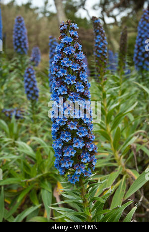 Nahaufnahme von klaren, blauen Echium candicans Blume im Vordergrund mit anderen echium Blumen und Pflanzen im Hintergrund. - Stockfoto