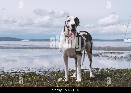 Harlekin Dogge Hund nach reine Rasse stehen auf Ebbe Strand am Puget Sound in der Nähe von Seattle. - Stockfoto