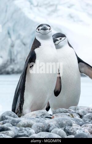 Zügelpinguin Pygoscelis antarcticus nach ständigen in der Kolonie, Fort Point, Antarktis - Stockfoto