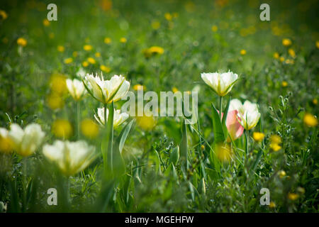 rote tulpen bl hen in den wald stockfoto bild 48160642 alamy. Black Bedroom Furniture Sets. Home Design Ideas