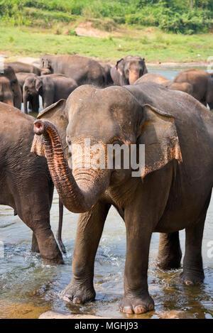 Vertikale Ansicht von einer Herde von Elefanten im Wasser in Sri Lanka. - Stockfoto