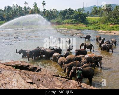 Horizontale Ansicht von einer Herde von Elefanten im Fluss in Pinnawala Elefanten Waisenhaus in Sri Lanka. - Stockfoto